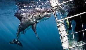 white shark 5