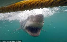 white shark 6